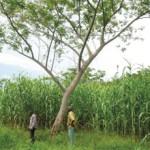 Fertiliser Trees