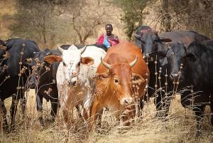 cattleherding_kenya