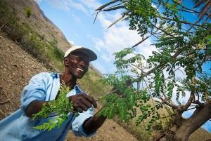 moringatree-haiti