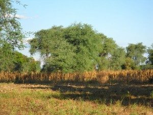 Faidherbia-in-maize-Bwanje-Valley-Malawi-300x225